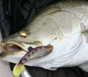 barramundi-on-lure