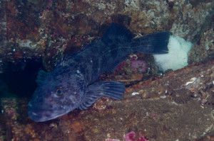 lingcod-on-eggs-by-ratha-grimes